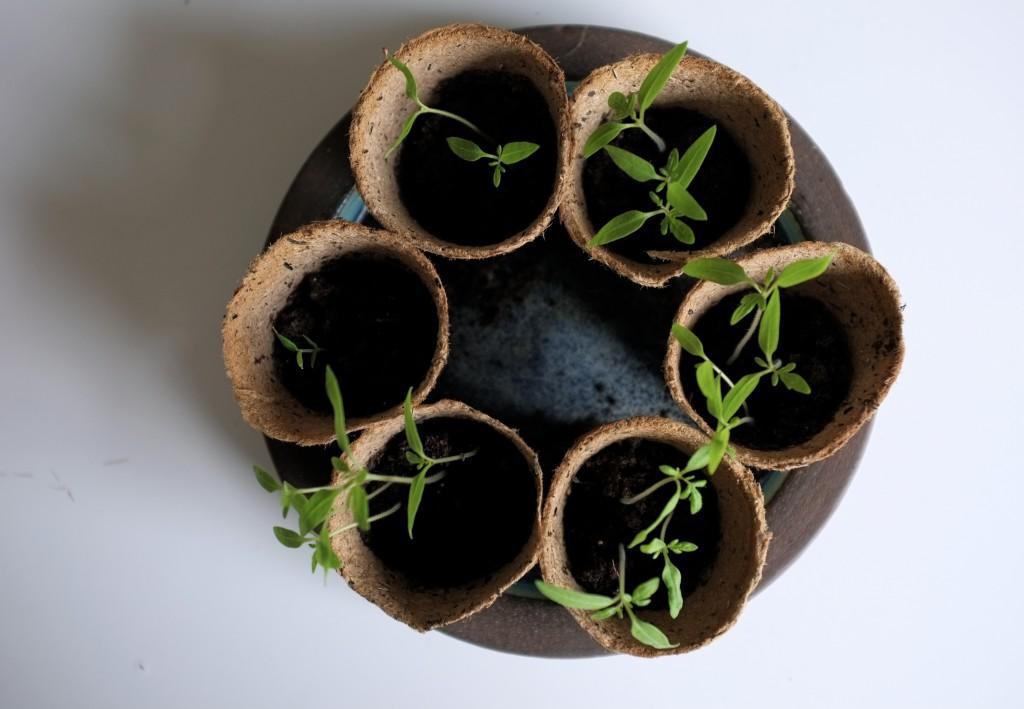 Forspirring af tomatplanter
