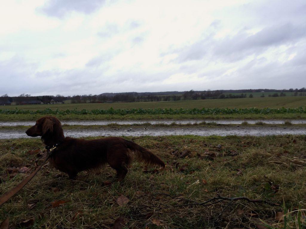 Langhåret dværggravhund